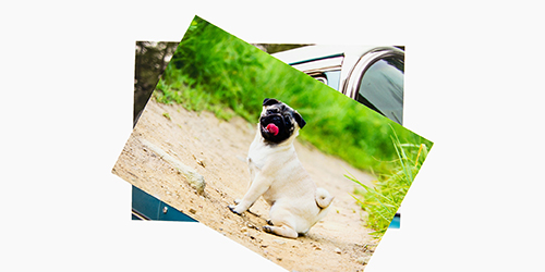 Pug puppy playing in the sand on metallic photo print