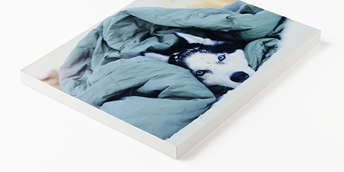 Husky laying in bed under a blanket on a Custom Mounted Print