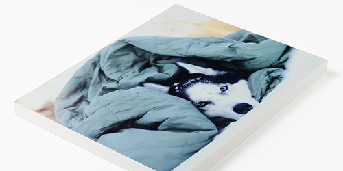 Husky laying in bed under a blanket on a custom standout mounting board